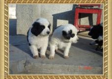 幼獒  熊猫豹子斑图片