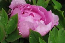 牡丹-含苞图片