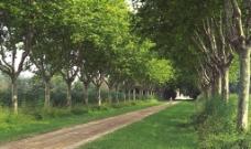道路 林荫图片