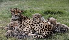 豹母子图片