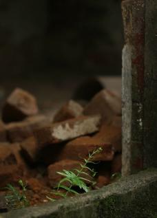 砖 植物图片
