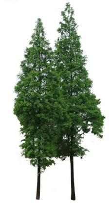 松树皮图片