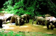 彩云之南之丛林象群图片
