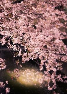樱花绚烂图片