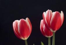 高清晰的郁金香图片