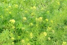 黄色小花图片